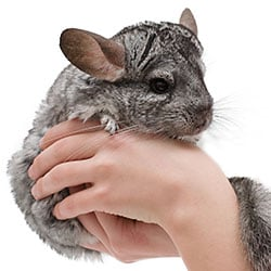 critters like chincillas dust-bathe in pumice powder